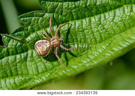 Female Small Spider Of Xysticus Cristatus Eats Small Midge With Wings