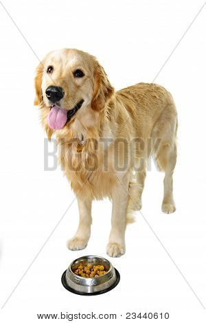 Golden retriever pet dog standing at food dish isolated on white background poster