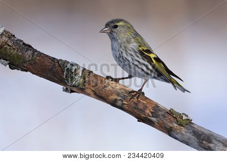 Female Of Eurasian Siskin (spinus Spinus) Sits On An Old Branch: Very Close, Can See Every Feather,