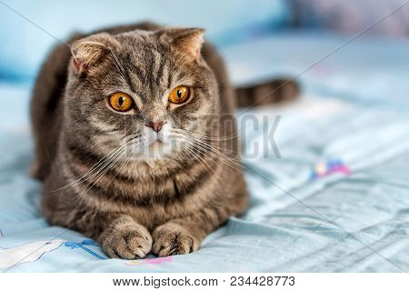 Noble Proud British Shorthair Cat With Grey Fur And Yellow Eyes