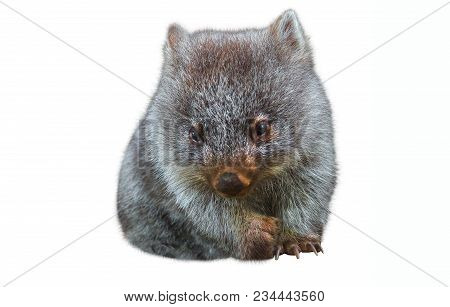 Sweet And Tender Little Australian Wombat In Position Marsupial. Isolated On White Background. The W