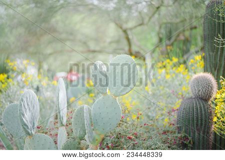 Stunning Gigantic Prickly Pear Cacti Surrounded By Bright Yellow Blooms And A Saguaro Cacti Make An