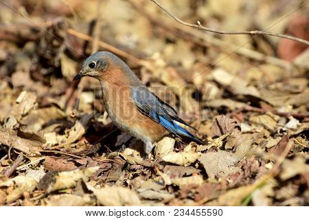 A Male Bluebird Foraging On The Ground And Digging Through Leaf Litter To Find A Meal.