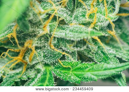 bud cannabis, medicinal marijuana cbd thc. Concepts of legalizing herbs weed, Macro shot with sugar trichomes, buds grown cannabis in the house, Bud cannabis before harvest poster