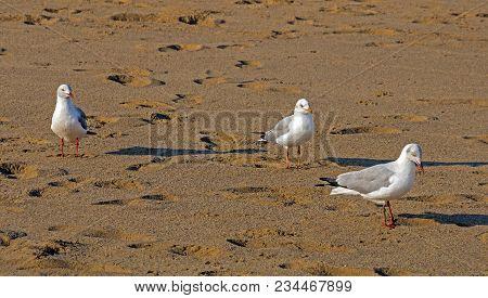 Three Grey Headed Gulls Walking  On Beach Sand