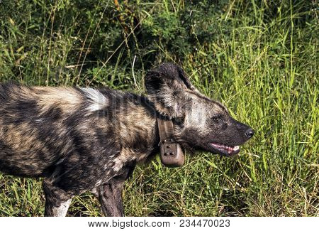 Close Up Of Rare Endangered African Painted Wild Dog Wearing Tracking Device Walking On Asphalt Road