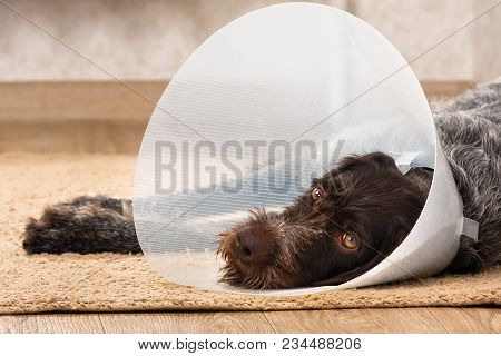 Dog With Plastic Elizabethan (buster) Collar Lying On The Floor