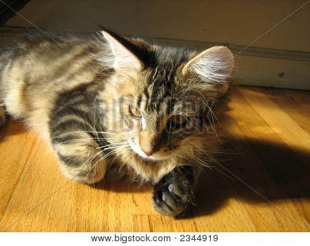 Maine Coon Kitten Sitting In A Sun Beam