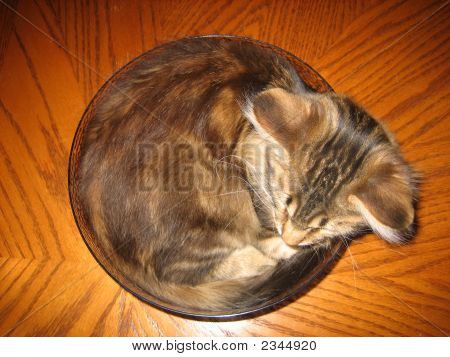 Bowlful Of Maine Coon