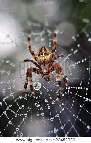 spider on its web after a morning rain