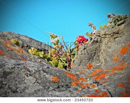 Fynbos flowers at the coast.
