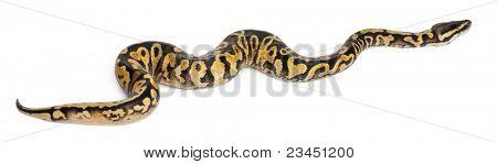 Female Pastel calico Python, Royal python or ball python, Python regius, in front of white background