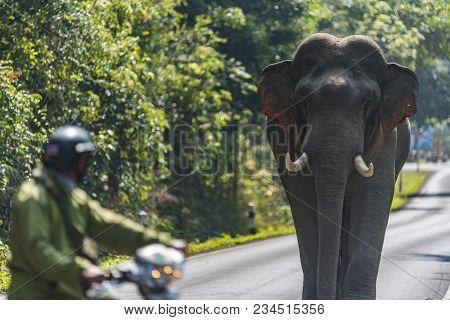 Wild Asian Elephant On The Road In Khao Yai National Park, Thailand