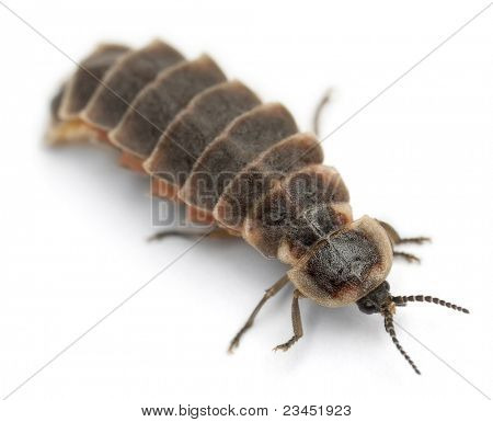 Common glow-worm of Europe, Lampyris noctiluca, in front of white background