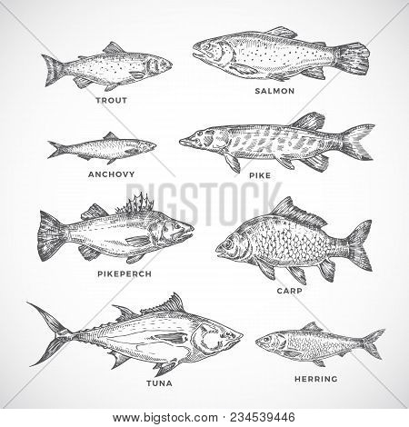 Hand Drawn Ocean Or Sea And River Fish Set. A Collection Of Salmon And Tuna Or Pike And Anchovy, Her