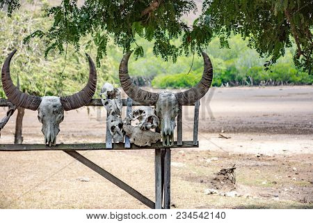 The Skeleton Of An Animal. The Head Of A Dead Buffalo With Horns Hangs On A Fence