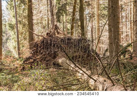 Big Fallen Trees In The Middle Of The Forest