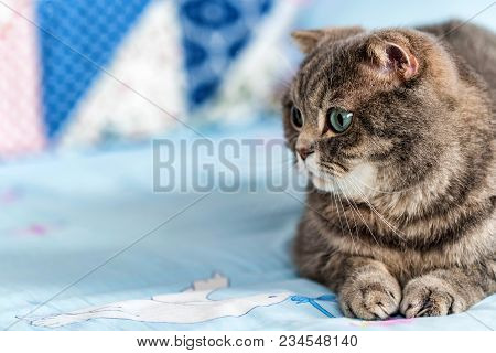 Noble Proud British Shorthair Cat With Grey Fur And Blue Eyes