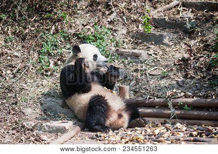 Giant Panda Sitting Down And Eating Bamboo, Chengdu, China