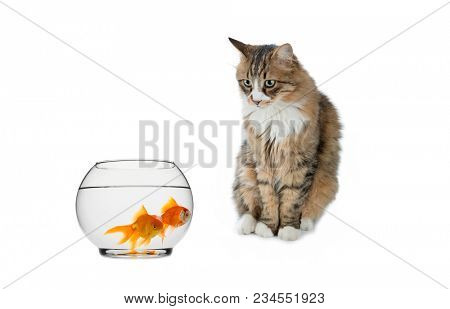 Norwegian forest cat looking at goldfishes in fish bowl isolated on white background.