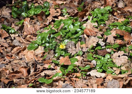 Wild Yellow Marsh Marigold Flower With Green Leaves On A Spring Morning.
