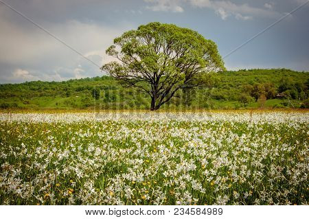A Field Of Wild Narcissus. Narcissus Valley In Ukrainian Carpathians. Spring In The Mountains. Ukrai