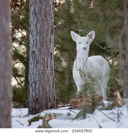 A White, White-tailed Deer Doe, Stands On A Hillside In Winter, Looking Toward The Camera.