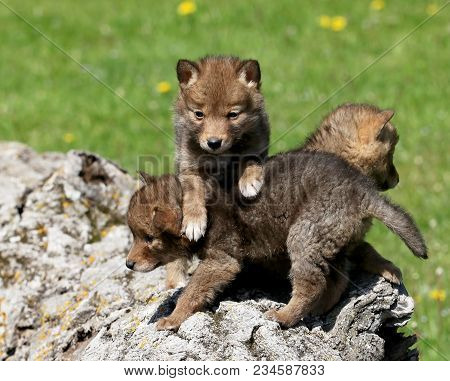 Young Coyote Pups Playing On Top Of A Hollowed Log