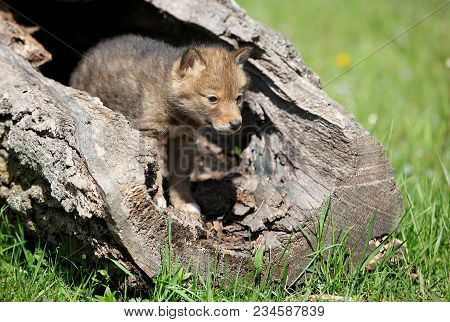 Young, Playful Coyote Pup Emerges From A Hollowed Log