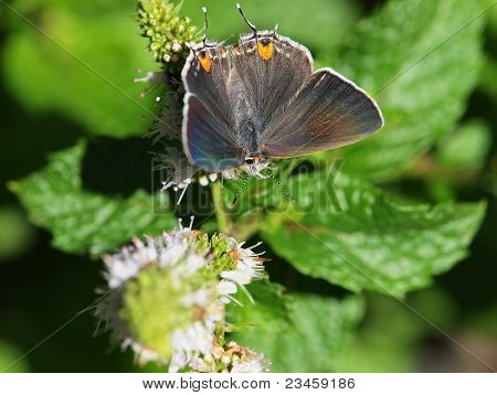 Mexican Gray Butterfly on Mint