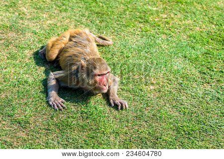 Rhesus Macaque In Jai Niwas Garden. Jaipur, Rajasthan State Of India