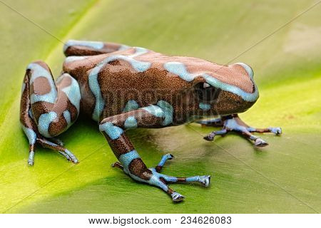Poison arrow frog, Dendrobates auratus from the tropical rain forest of Panama.