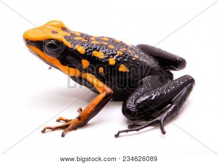 poison dart or arrow frog, Ameerega silverstonei. Orange poisonous animal from the Amazon rain forest of Peru. Isolated on white background.