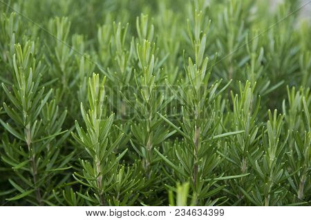 Young Fresh Rosemary Growing In The Garden