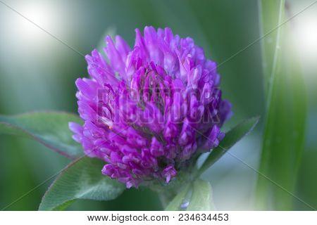 Purple (violet) Spring Flowers In A Garden. Purple (violet) Spring Flowers. Purple Spring Flower Blo