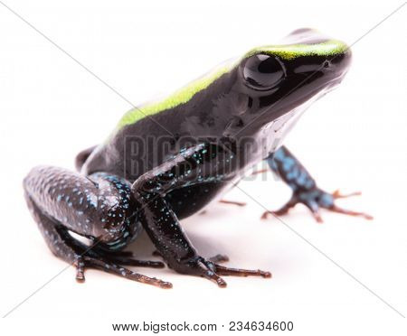 Kokoe poison dart frog, Phyllobates aurotaenia. A very poisonous and dangerous animal from the tropical Amazon rain forest in Colombia. Isolated on white background.