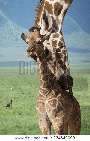 Giraffe Mother Baby Image Photo Free Trial Bigstock