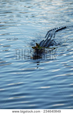 An American Alligator Swimming Towards The Photographer With A Water Lotus Plant On Its Head.