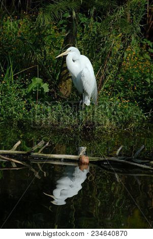 An Adult Great Egret In Breeding Plumage Standing Near The Waters Edge With Reflection.