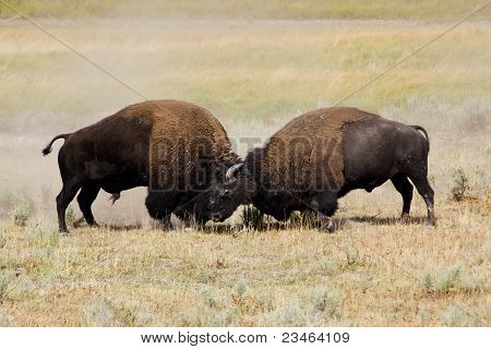 bisons in battle