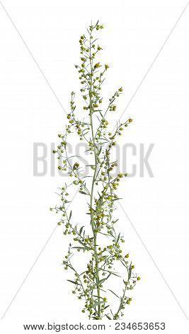 Artemisia absinthium (absinthe, absinthium, absinthe wormwood, wormwood) Isolated. poster