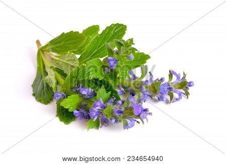 Ajuga Also Variously Known As The Upright Bugle, Blue Bugle, Geneva Bugleweed, Blue Bugleweed