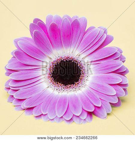 Beauty Cute Purple Flower On Umber Background