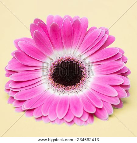 Beauty Cute Pink Flower On Umber Background