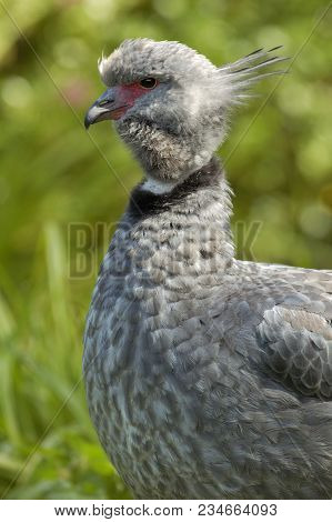 Crested Or Southern Screamer - Chauna Torquata