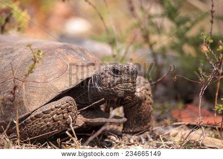 Florida Gopher Tortoise Gopherus Polyphemus