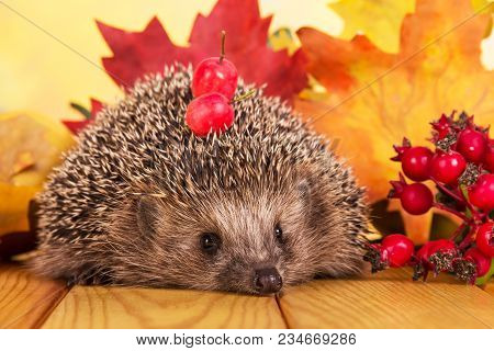 Grey Prickly Hedgehog Sitting On Beige Wooden Table, Next To Branch Of Rose Hip