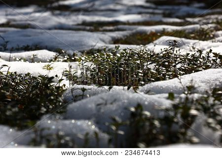 In The Spring Forest Snow Thaws Around Cowberry Bushes.