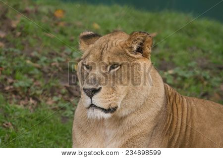 A Close-up Photo Of A Barbary Lioness