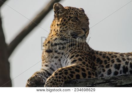 Close-up Photo Portrait Of A North Chinese Leopard